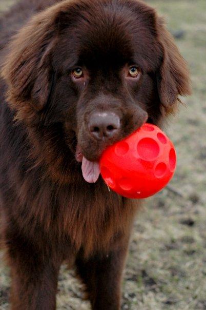 Roscoe Newfounland with ball