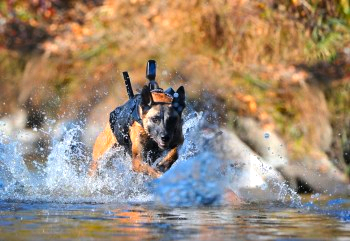 Military-Working-Dog-MWD-Running-with-equipment-350x241